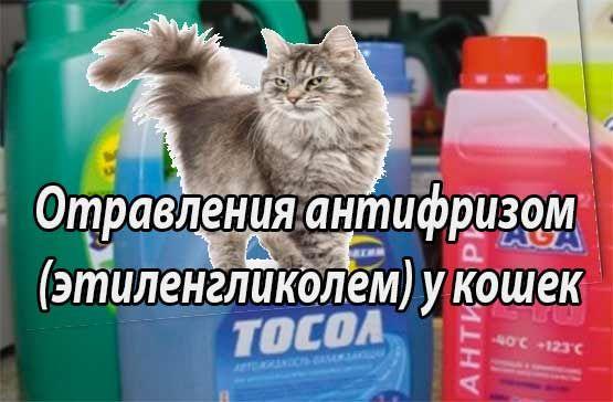 Антифриз действующее вещество этиленгликоль. Отравления антифризом (этиленгликолем) у кошек