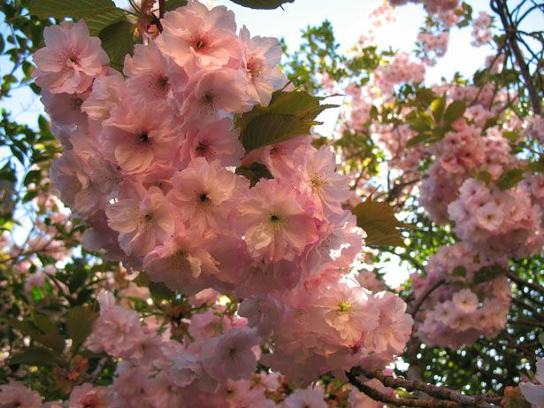 Japanese Cherry Blossom Festival And The Global Warming