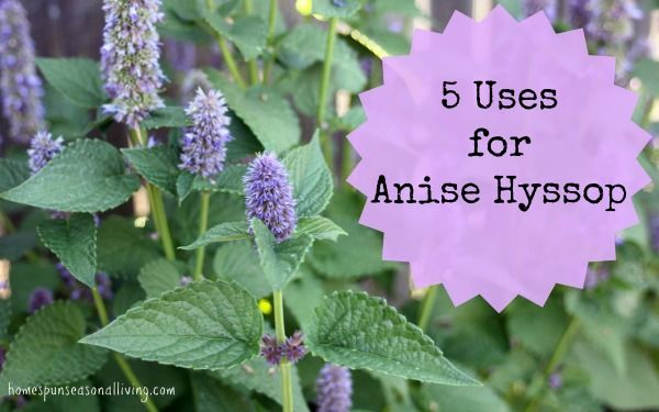 5 Uses for Anise Hyssop in the kitchen and home medicine cabinet.