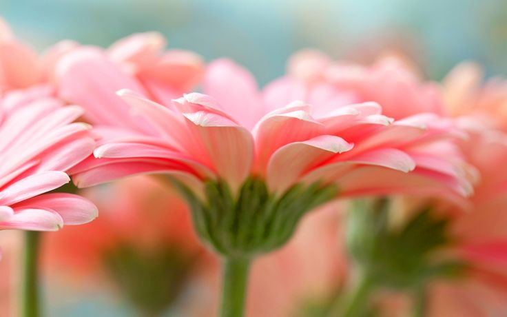 awesome pink gerbera flower hd wallpaper Check more at http://www.finewallpapers.eu/pin/19650/