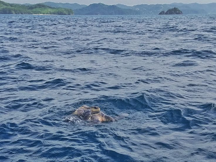 Turtles in the Gulf of Papagayo, Costa Rica
