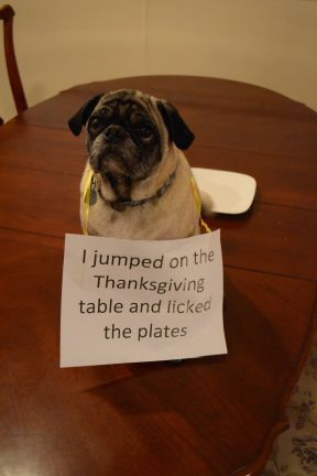 thanksgiving pug look at this face funny sad true cute scary wtf pinterest 3689