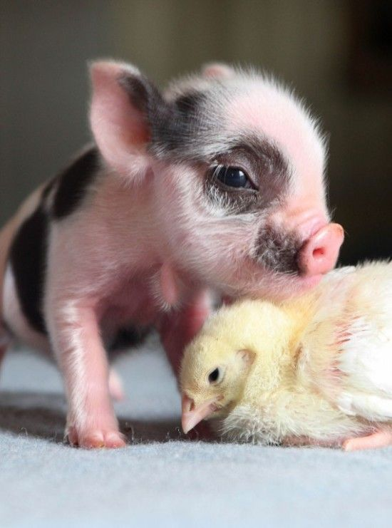 Micro pig and chick