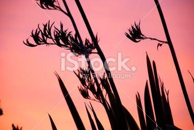 Harakeke (NZ Flax) Silhouette & Sunset Royalty Free Stock Photo