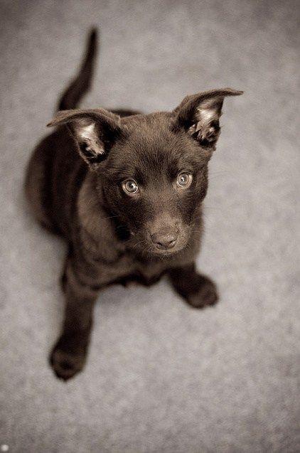 Goggie ob teh Week: Not a Dingo!