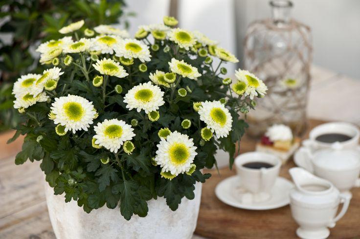 Pura Vida, Chrysanthemum, SV.CO