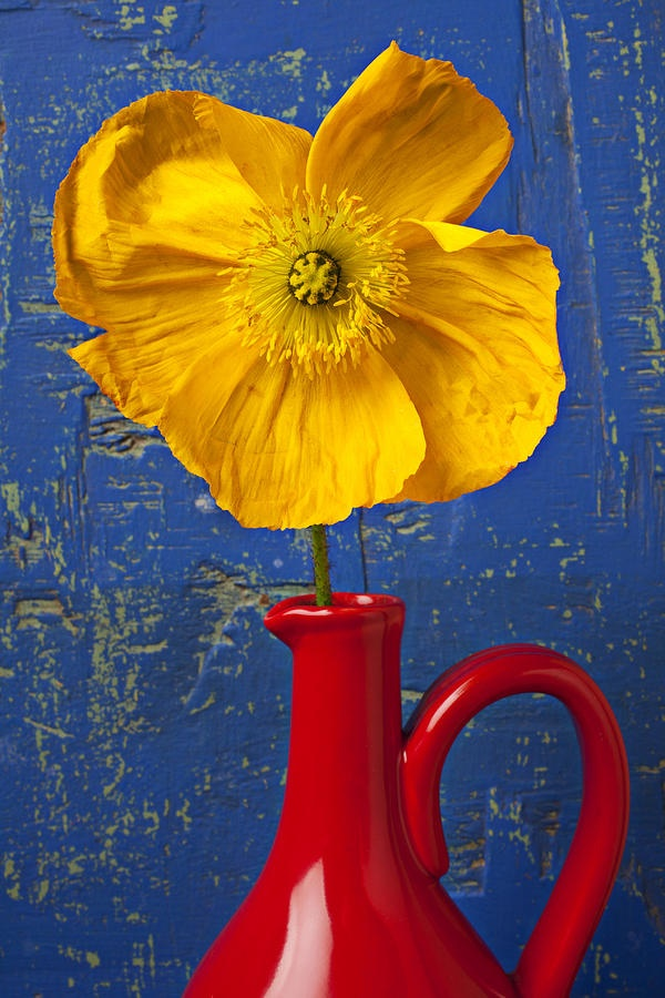 Yellow Iceland poppy in red pitcher against worn blue wooden wall