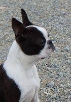 Dinner Jacket Isun chien de race toutes races en tous departements France inscrit sur Chiens-de-France