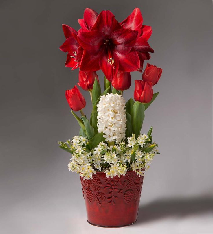 Amaryllis christmas gift garden holiday bulb gardens for Amaryllis christmas decoration