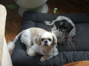 Hachi and Nana  are a bonded pair of shih tzus.