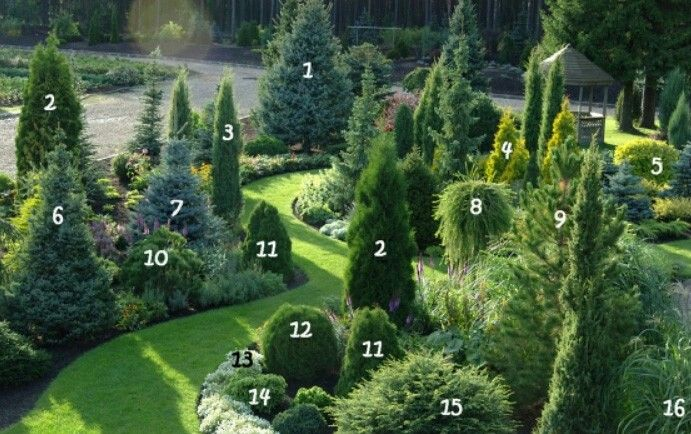 1. Spruce rough 9. Sibirskiy Kedr 2. Thuja occidentalis 'Holmstrup' 10. Pine mountain 'Winter Gold' 3. Juniperus communis 'Hibernica' 11. Thuja occidentalis 'Dumosa' 4. Thuja occidentalis 'Aurea' 12. Thuja occidentalis 'Salaspils' 5. Deren white 'Aurea' 13. Lobularia seaside 6. Serbian spruce 'Nana' 14. Canadian Hemlock 'Jeddeloh' 7. Blue spruce 'Glauca' 15. The Eastern Hemlock tree 'Nana' 8. The European larch 'Pendula' 16. Miscanthus Chinese 'Fruhe Hybriden'
