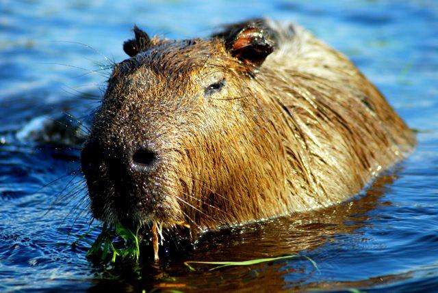 Day 117: Capybara, Esreros del Ibera (Argentina)