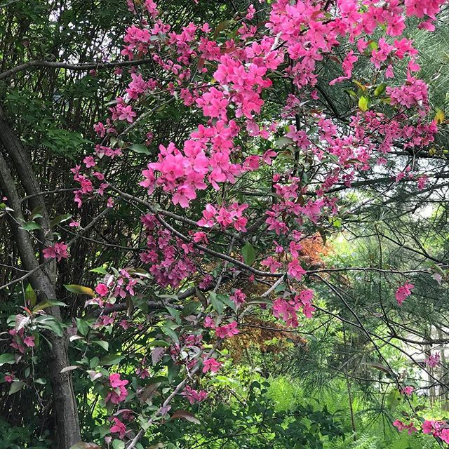 Small Ornamental Trees Nc: 17 Best Ideas About Flowering Crabapple On Pinterest