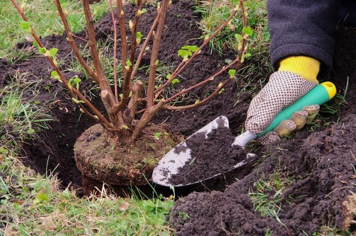 Большинство садоводов предпочитают высаживать кустарники в весенний сезон перед началом сокодвижения. Но существуют проверенные эффективные способы осенней посадки, среди которых:Посадка с земляным ко...
