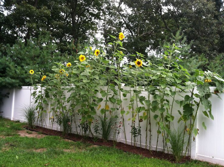Sunflower Garden Ideas a family garden plan that will get keep kids engaged Find This Pin And More On Front Yard Garden Ideas My Sunflower Garden
