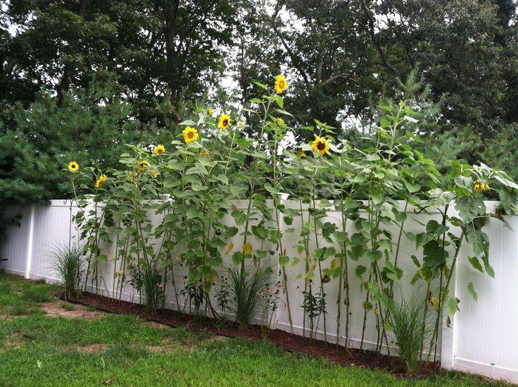 Sunflower Garden Ideas best 25 sunflower arrangements ideas on pinterest Find This Pin And More On Front Yard Garden Ideas My Sunflower Garden