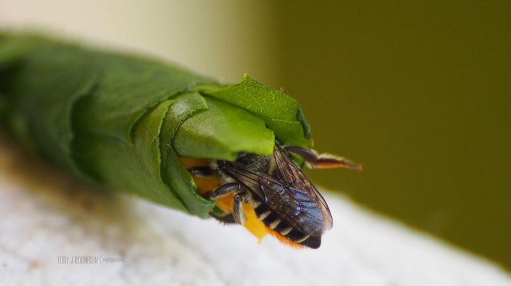 Leaf Cutter Bee, building a new home. Brisbane, Australia