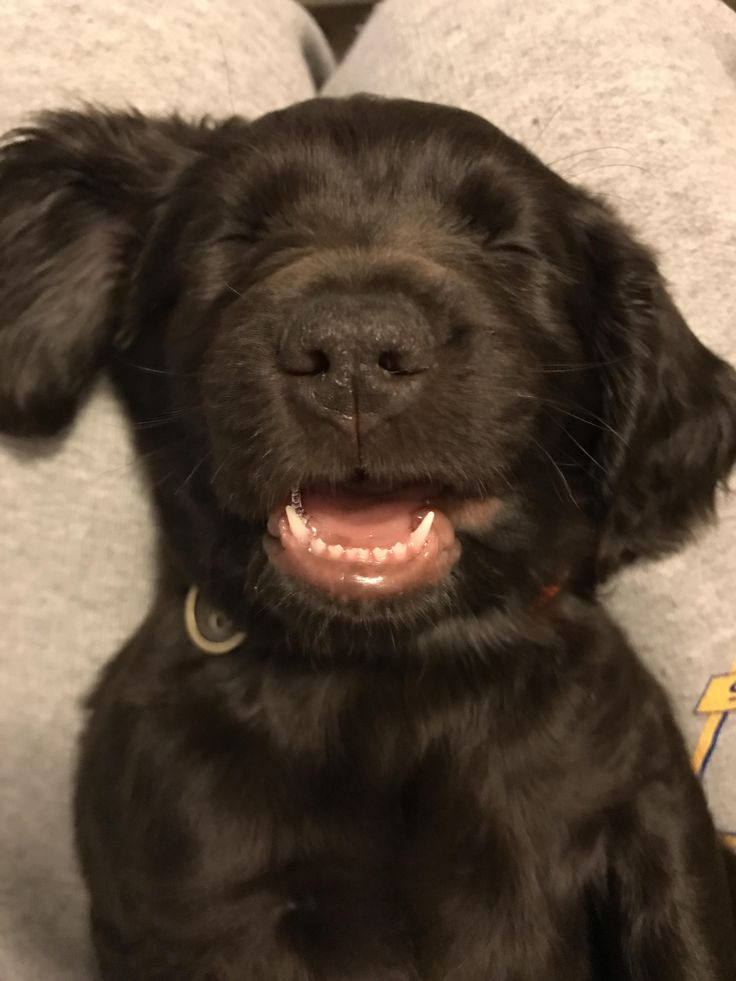 My 8 week old Boykin Spaniel sleeps with his mouth hanging open http://ift.tt/2no6c5d