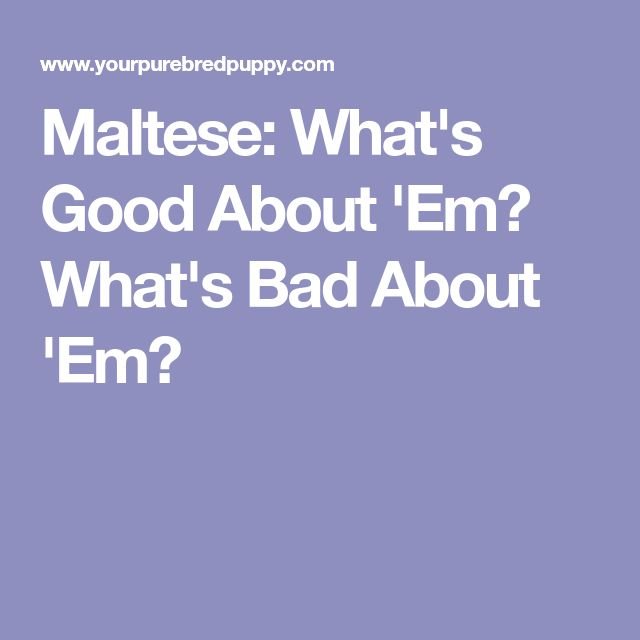 Maltese: What's Good About 'Em? What's Bad About 'Em?
