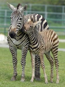 Baby boom underway at African Lion Safari