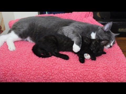 Please subscribe :) Visit our website www.kittycatbliss.com    Babysitting to doggies made Meesha and Bella realize they were a team. Don't get me wrong they still chase, pounce and harrass each other but they also sleep together now! In this video they're sleeping on top of my desk. It's their favorite daytime place to sleep. Since I'm working at...