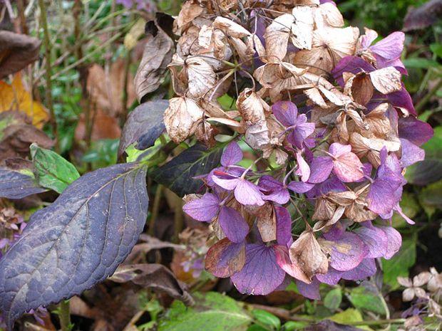 Las hojas de las hortensias son el principal blanco de las enfermedades, por ello conviene reconocer los daños habituales que presentan esta parte de la planta para poder tratarlas adecuadamente. L…