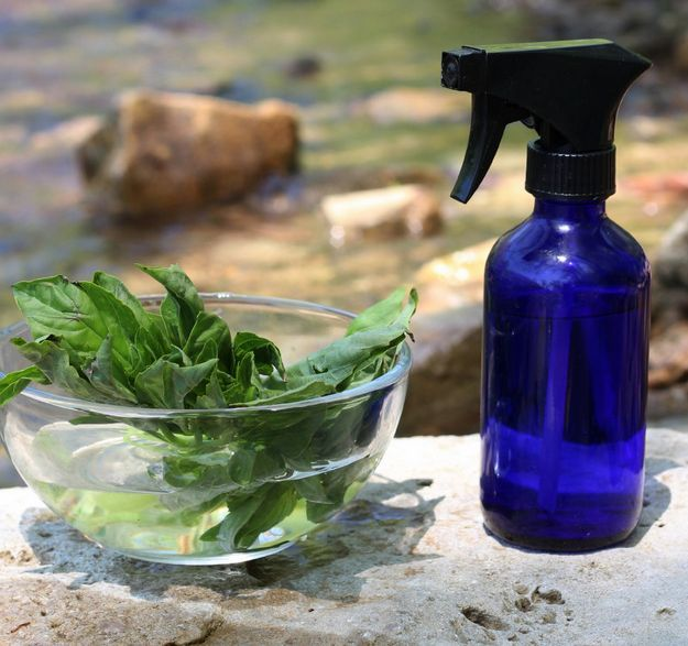 Basil makes a great natural mosquito repellent for your yard | Homemade natural mosquito repellents by Pioneer Settler at http://pioneersettler.com/natural-mosquito-repellent-plants