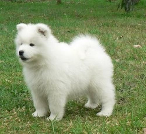 75 best samoiedo images on pinterest samoyed dogs