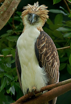 Philippine Eagle ~ love that hair!