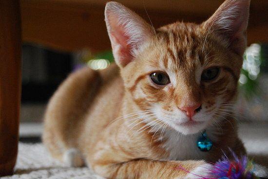 =^..^=  Orange tabby cat