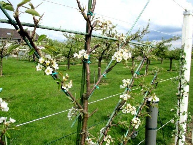 Liens Souples Professionnels Pour Attacher Les Charpentières Et Branches Fruitières En Formation Sans Tree Pruningfruit