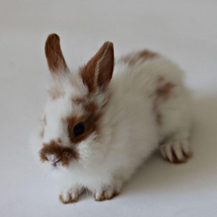 Lykke  #kanin#kaniner#kaninar#kanina#kaninunger#kaninunge#rabbit#rabbits#bunny#bunnies#løvehode#dvergvedder#hermelin#lionhead#lop#minilop#hollandlop#viltgulbroket#viltgul#broket#flekket# by sheltiebunnies