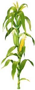 corn stalk - Bing images