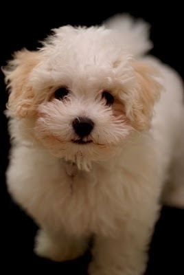 Puppy - Bichon Bolognese