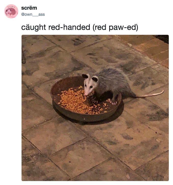 Pin On Opossum
