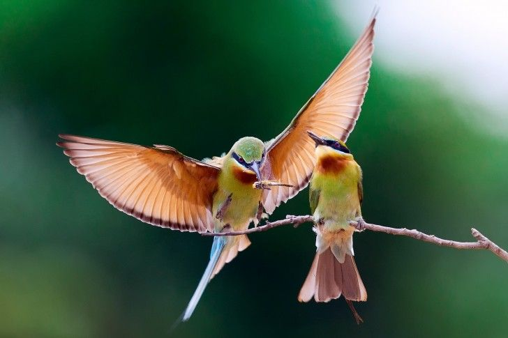 Bee Eater couple