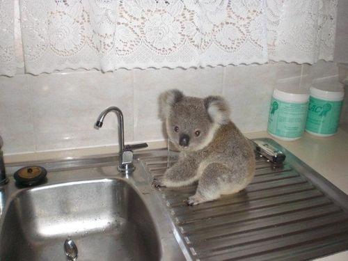 : Babies, Animal Pictures, Baby Koalas, Adorable Animals, Funny Animal Pics, Little Kitchens, Koala Bears, Koalas Bears, Kitchens Sinks