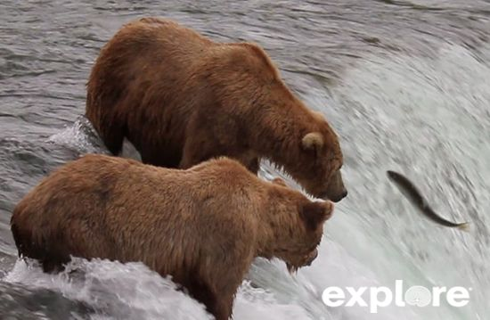 Brown Bears and Salmon video clips include: Brooks Falls Montage, Weekly Highlights 07/24/2012, Weekly Highlights 07/30/2012, Hunting Salmon Vol. 1 and Vol. 2