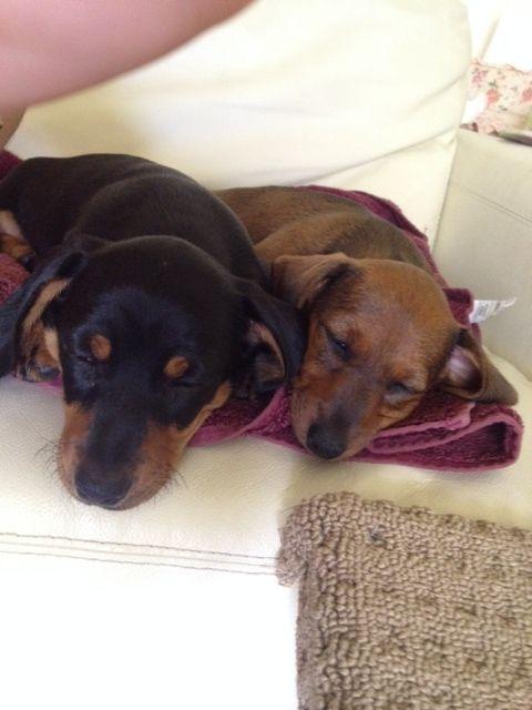My Dachshund puppies #daphneandralph