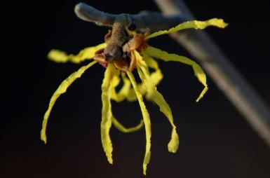 Everything You Need to Know About Witch Hazel Shrubs: 'Arnold Promise' witch hazel is one of the earliest-blooming shrubs.