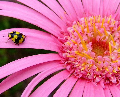 ladybug on gerbera, via Flickr.