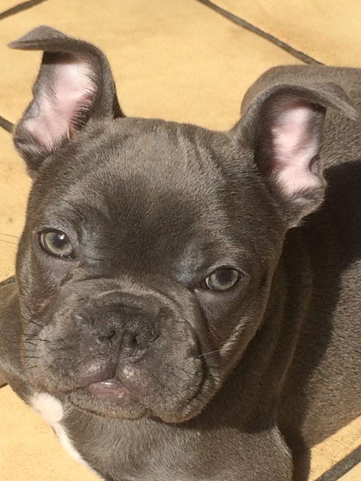 Blauwe Franse Bulldog Jaxon