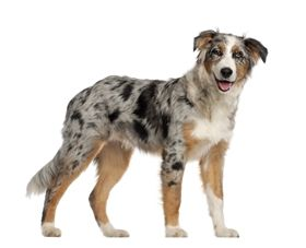 Australian Shepherd Labrador mix adult