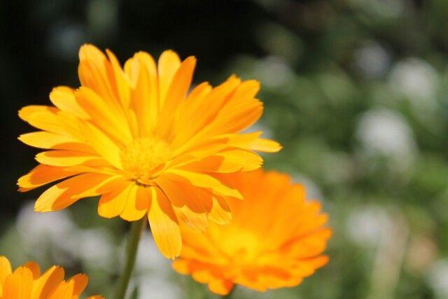 Ноготки......простые, но очень красивые цветы Радуют глаз)
