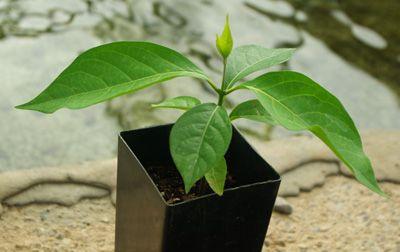 Ayahuasca_plant