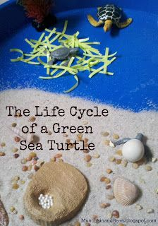 The Life Cycle of a Green Sea Turtle from Munchkin and Bean