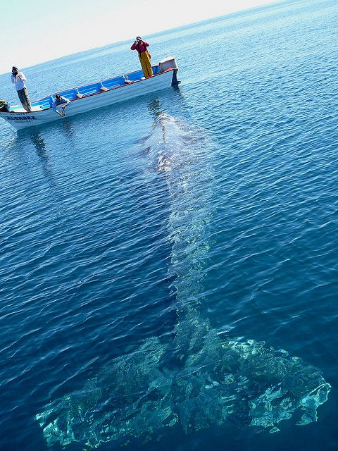 """Whale watching in mag Bay, Photo by John Quilter """"MEXICO; we paddled up to this grey whale. He was asleep and snoring"""""""