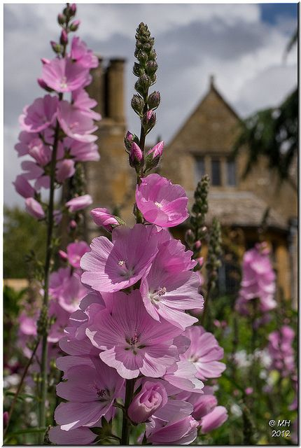 Prairie Mallow (sidalcea) at Hidcote Manor garden, one of the Cotswold's  England  most beautiful gardens.