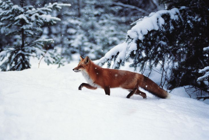 Snow FoxWinter, Animal Chipin, Photography Foxes In Nature, Beautiful, Foxy Friends, Snow Fun, Foxy Finding, Red Foxes, Animalsanim Welfare