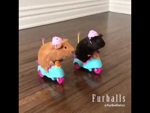 Guinea pigs rocking out - YouTube https://youtu.be/cYunXzo399k #animals #animal #humor #funny #cute #youtube